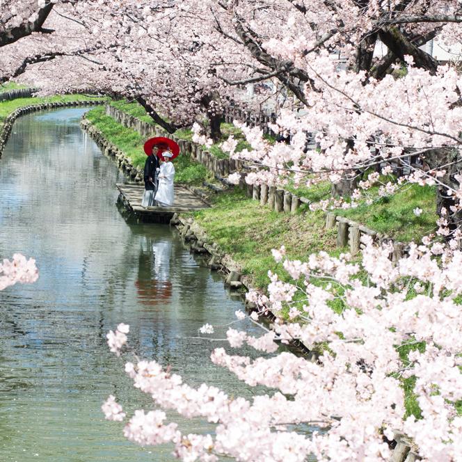 氷川神社裏は川越屈指の桜の名所